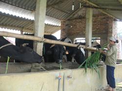 Tại Tân Lạc, nuôi bò nhốt chuồng theo hướng sản xuất hàng hóa là định hướng được nhiều hộ chăn nuôi lựa chọn