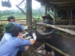 Cán bộ thú y điều trị bệnh LMLM cho trâu tại xã Đồng Nghê - Đà Bắc