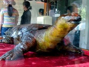 Tiêu bản cụ Rùa đang được trưng bày tại đền Ngọc Sơn.