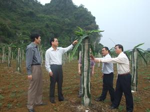 Đồng chí Nguyễn Văn Quang, Phó Bí thư TT Tỉnh ủy, Chủ tịch HĐND tỉnh thăm vườn trồng thanh long hàng hóa tại Công ty Sông Bôi (Lạc Thủy). Ảnh: L.C