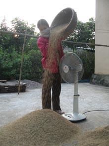 Nông dân xã Đồng Tâm tham gia mô hình khảo nghiệm giống Xuyên hương 178, năng suất đạt trên 70 tạ/ha, chất lượng gạo tốt.