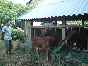 Gia đình anh Bùi Văn Vinh ở xóm Đồng Mới, xã Dũng Phong (Cao Phong) thường xuyên tiêm phòng cho đàn bò nên hạn chế được dịch bệnh.