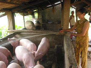 Nhiều hộ gia đình xã Mỵ Hòa (Tân Lạc) phát triển chăn nuôi lợn mang lại hiệu quả kinh tế cao.