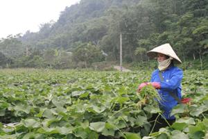 Nông dân xóm Khan Thượng, xã Ba Khan (Mai Châu) nhân rộng mô hình trồng su su lấy ngọn an toàn theo quy trình thực hành nông nghiệp tốt.