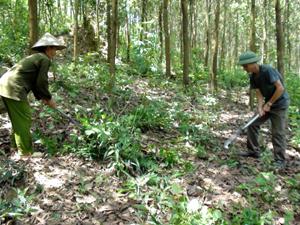CCB Nguyễn Văn Viện ở xóm Suối Tép, xã Đồng Tâm (Lạc Thuỷ) phát triển kinh tế theo mô hình chăn nuôi kết hợp trồng rừng.