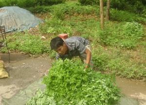 Thương lái thu mua rau ngót  tại xóm Tân Thành, xã Tân Thành (Lương Sơn).