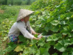 Trên cây bí xanh cần chú ý phòng trừ bọ nhảy và bệnh phấn trắng. ảnh: Nông dân xã Mai Hạ (Mai Châu) trồng và chăm sóc bí xanh.