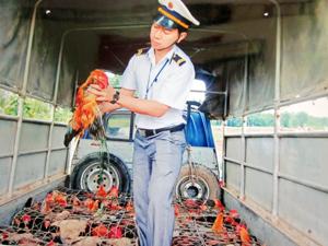 Lực lượng kiểm dịch trên tuyến đường Hồ Chí Minh thực hiện kiểm dịch gia cầm vận chuyển cho các trang trại, gia trại.