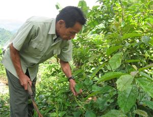 """Mô hình """"trồng xạ đen có đầu tư"""" do trạm KN-KL huyện triển khai tại xã Thượng Tiến (Kim Bôi) giúp nhiều hộ dân nơi đây có thu nhập ổn định."""
