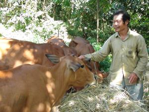 CCB Đinh Công Hải, xóm Sim Trong, xã Hợp Đồng (Kim Bôi) chăm sóc đàn bò của gia đình.