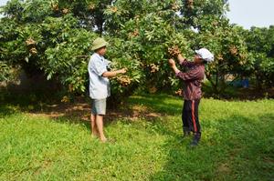 Nhiều hộ gia đình xã Sơn Thủy (Kim bôi) trồng nhãn Hương Chi cho thu nhập cao.