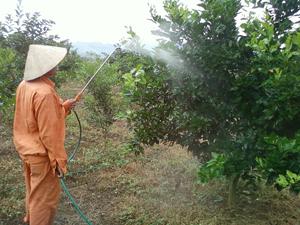 Hộ trồng cam xã Thu Phong (Cao Phong) chưa thực hiện tốt nguyên tắc 4 đúng trong sử dụng thuốc BVTV.