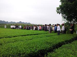 Các đại biểu tham dự hội thảo quan sát, đánh giá chất lượng cây chè đã được phun phân bón lá ACE GROW - CANXI.