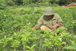 Cán bộ Trung tâm giống cây trồng kiểm tra chất lượng bưởi ghép từ cây đầu dòng.