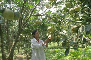 Gia đình ông Lê Văn Ty, xóm Nam Thành, xã Nam Phong (Cao Phong) phát triển mô hình cải tạo vườn tạp trồng bưởi Diễn.