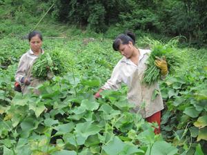 Chuyển đổi cây trồng ở vùng cao Tân Lạc